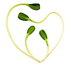Sunflower Heart